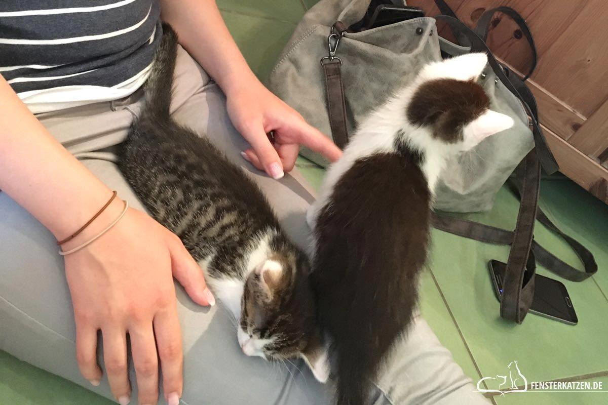 Fensterkatzen-Das-Erste-Mal-Die-Neuen-Mitbewohner-Kennenlernen-Titelbild