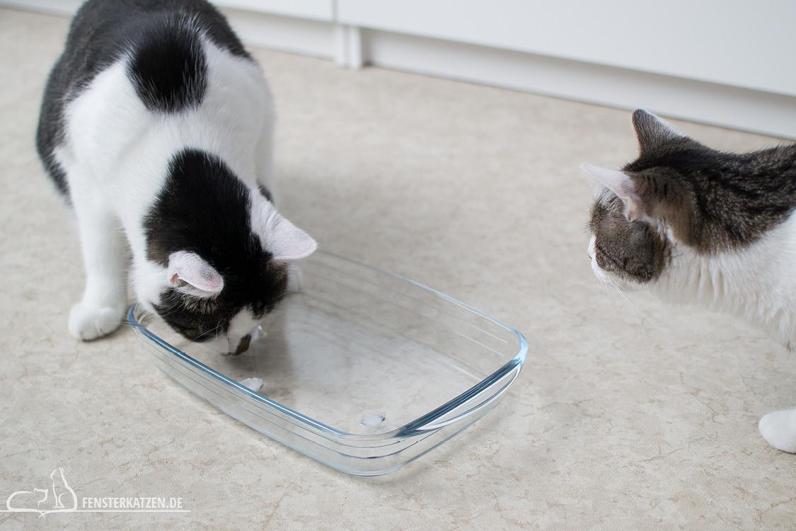 Fensterkatzen-Ratgeber-Abkuehlung-Katze-Tipps-Hitze-Eiswuerfel-Auflaufform