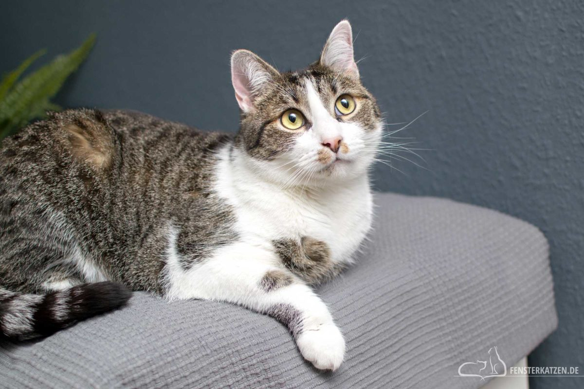 Fensterkatzen-Ratgeber-Vorsorge-Katzen-Wohnungskatzen-fit-gesund-AGILA