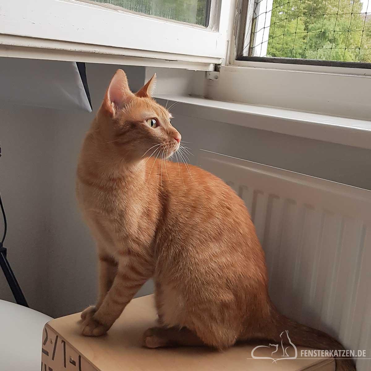 Fensterkatzen-Das-Erste-Mal-Katzen-Zusammenfuehren-Unsere-Erfahrungen-Kater-Sitzt-Am-Fenster
