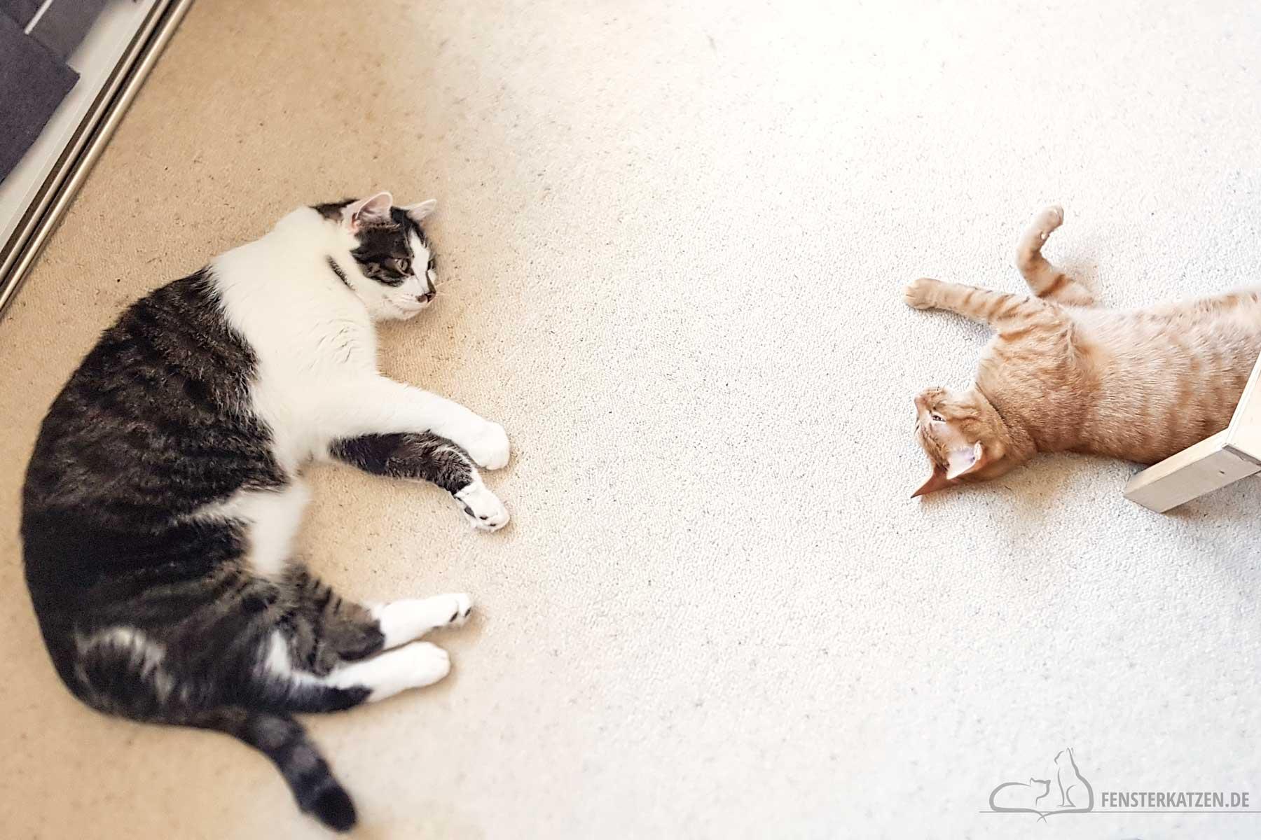 Fensterkatzen-Das-Erste-Mal-Katzen-Zusammenfuehren-Unsere-Erfahrungen-Luke-Flash